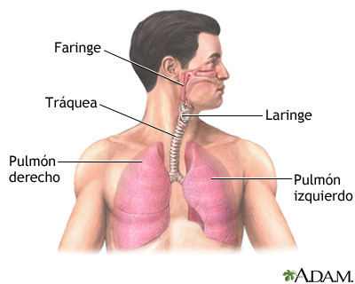 Anatomía normal del pulmón