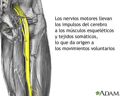 Nervios motores: MedlinePlus enciclopedia médica illustración