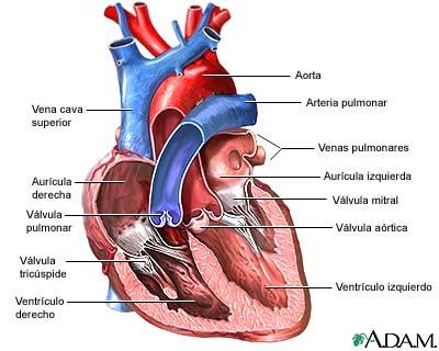 Vista anterior de válvulas cardíacas