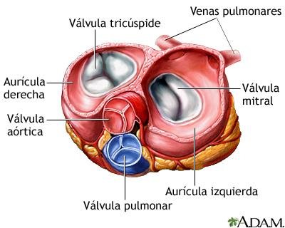 Vista superior de válvulas cardíacas