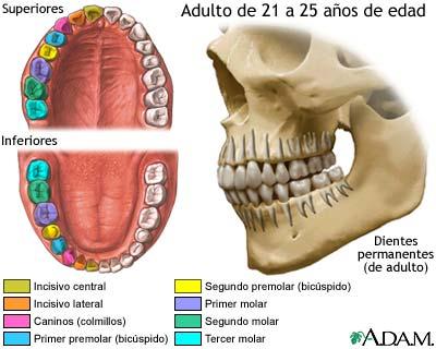 desarrollo de los dientes permanentes medlineplus enciclopedia