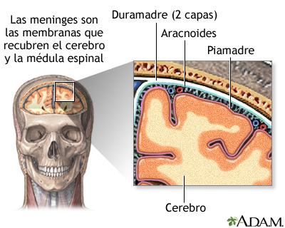 3.1 Meninges - Anatomia del sistema nervioso y organos de los sentidos