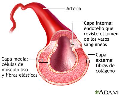 Corte transversal de una arteria