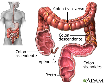 Intestino grueso (colon)