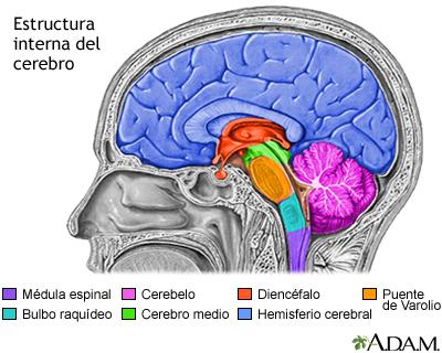 Estructuras Del Cerebro Medlineplus Enciclopedia Médica