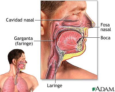 Tracto Respiratorio Superior Medlineplus Enciclopedia Médica Illustración