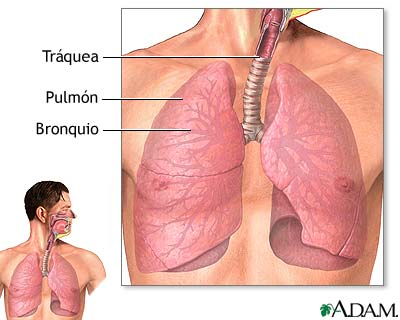 Tracto respiratorio inferior: MedlinePlus enciclopedia médica ...