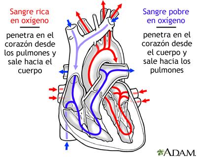 Circulación de la sangre a través del corazón