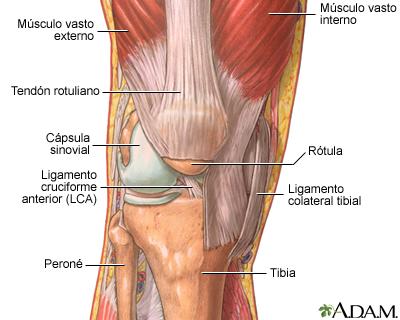 La estructura de una articulación: MedlinePlus enciclopedia médica ...