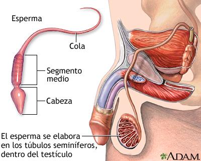 Espermatozoide: MedlinePlus enciclopedia médica illustración