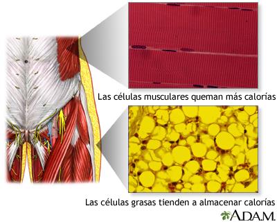 Células musculares vs células grasas