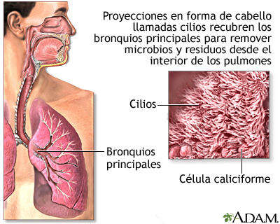 Cilios respiratorios: MedlinePlus enciclopedia médica illustración