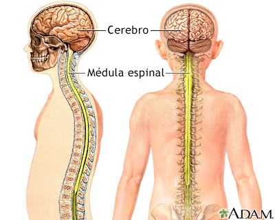 Sistema Nervioso Central - Imágenes - Taringa!