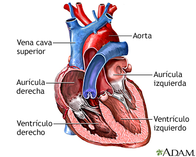 Cámaras del corazón: MedlinePlus enciclopedia médica illustración