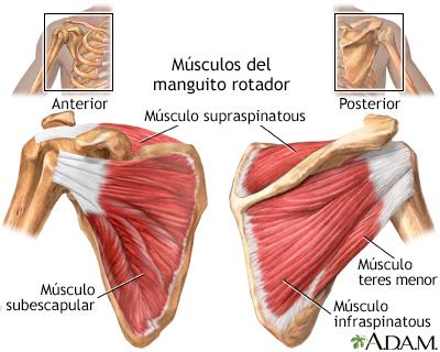 Músculos del manguito rotador: MedlinePlus enciclopedia médica ...