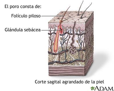 Glándulas sebáceas de los folículos pilosos