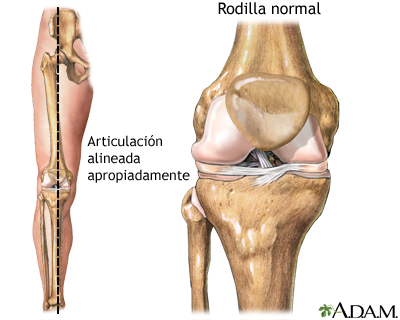 Osteotomía de la tibia - Serie—Anatomía normal: MedlinePlus ...