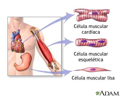 Tipos de tejido muscular: MedlinePlus enciclopedia médica illustración