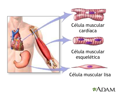 Image result for dibujo del tejido muscular