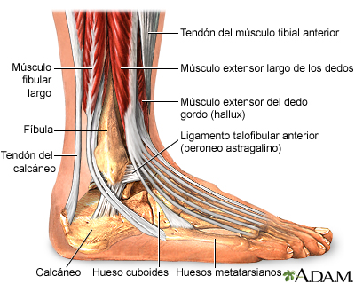 Anatomía del tobillo: MedlinePlus enciclopedia médica illustración