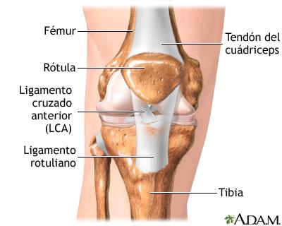 Ligamento cruzado anterior reparación - Serie—Anatomía normal ...