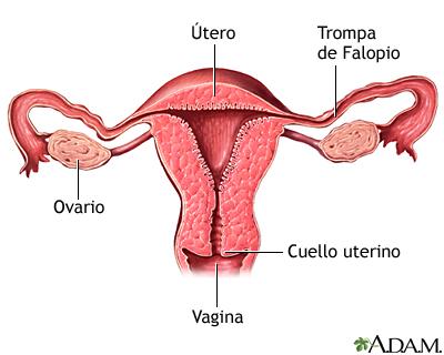 Corte transversal de anatomía uterina normal