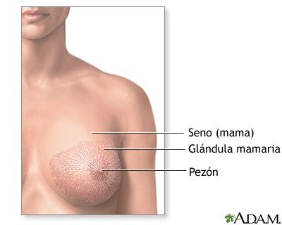 Anatomía del seno femenino normal