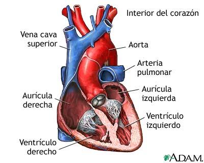 Corte transversal de la anatomía cardíaca normal: MedlinePlus ...