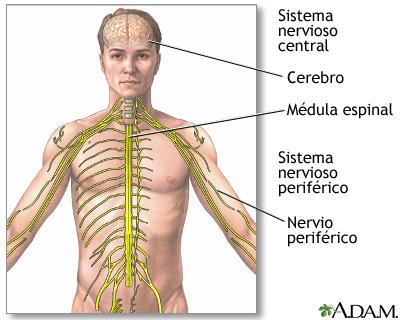 Sistema nervioso central y sistema nervioso periférico: MedlinePlus ...
