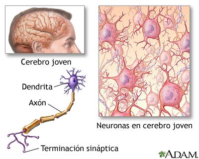 Cerebro y sistema nervioso