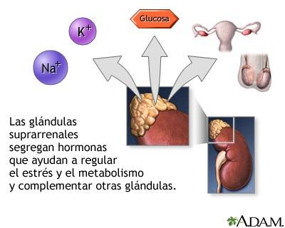 Secreción hormonal de las glándulas suprarrenales: MedlinePlus ...