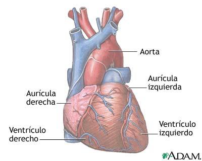 Anatomía normal del corazón: MedlinePlus enciclopedia médica ...