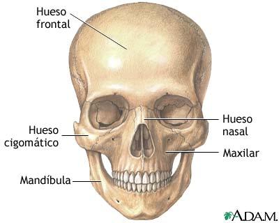 Anatomía del cráneo: MedlinePlus enciclopedia médica illustración