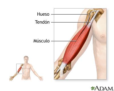 Tendones y músculos