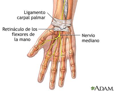 Anatomía de la muñeca: MedlinePlus enciclopedia médica illustración