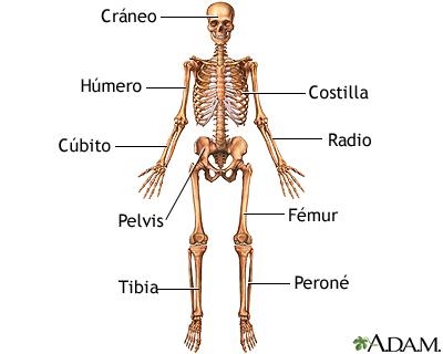 Anatomía esquelética anterior