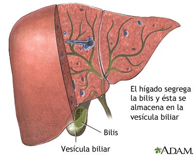 Bilis producida en el hígado: MedlinePlus enciclopedia médica ...