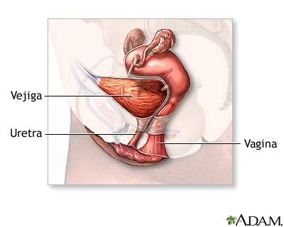 Anatomía del sistema reproductor femenino (sagital medial ...
