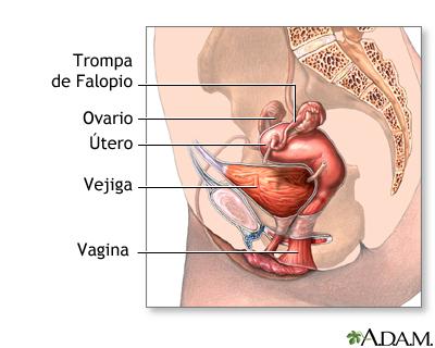 Anatomía femenina normal