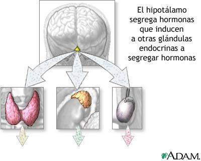 Producción hormonal del hipotálamo