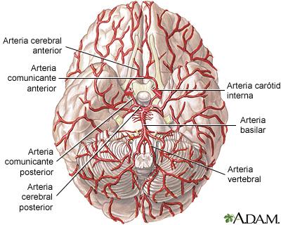 Arterias del cerebro: MedlinePlus enciclopedia médica illustración