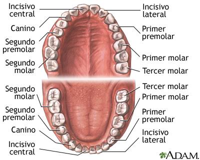 Anatomía dental: MedlinePlus enciclopedia médica illustración