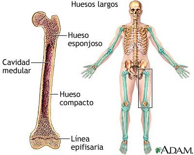 Huesos largos: MedlinePlus enciclopedia médica illustración