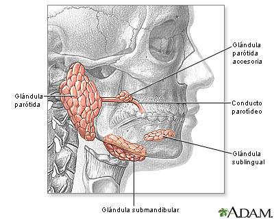 Glándulas de la cabeza y el cuello: MedlinePlus enciclopedia médica ...