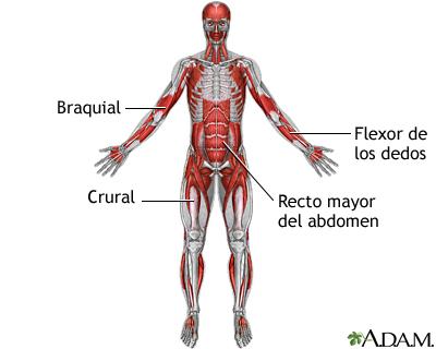 Músculos profundos anteriores: MedlinePlus enciclopedia médica ...