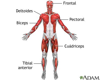Músculos superficiales anteriores: MedlinePlus enciclopedia médica ...