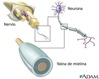 Mielina y estructura nerviosa