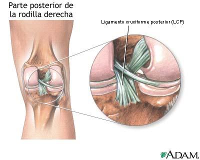 Ligamento cruciforme posterior de la rodilla