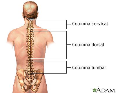 Anatomía posterior de la columna vertebral: MedlinePlus enciclopedia ...