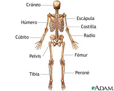 Esqueleto (vista posterior)